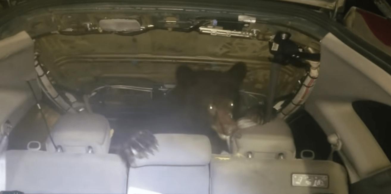 Tranquilidad nivel: encuentra un oso en su auto y reacciona como si nada