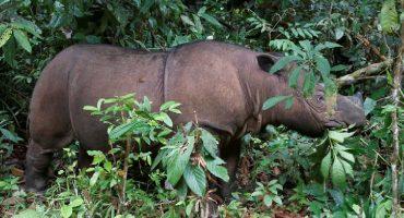 Oficialmente extinto: Muere el último rinoceronte de Sumatra en Malasia