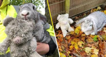 Se vale llorar: Este tierno conejo fue rescatado en la carretera con su osito de peluche