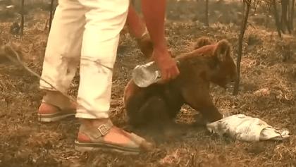 Lagrimita mil: Murió el koala que fue rescatado de un incendio en Australia