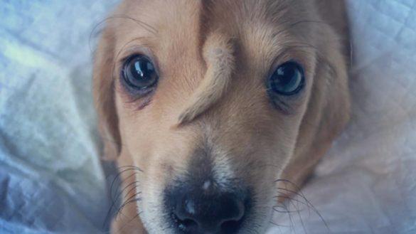 Este cachorrito 'unicornio' nació con una cola en la cabeza y es lo más adorable del mundo