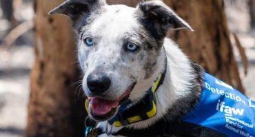 Conoce a 'Oso', el perro rescatista que ayuda a buscar koalas entre los incendios de Australia