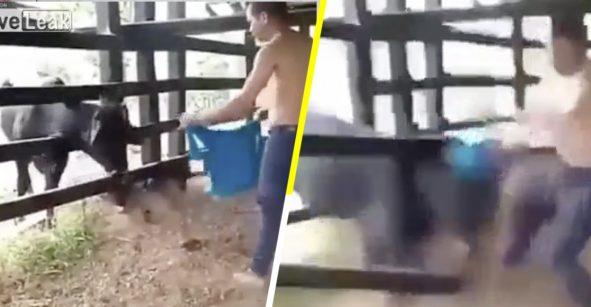 Karma instantáneo: Sujeto se burla de una vaca que está atrapada y recibe su merecido