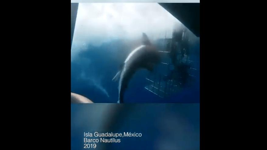 Responde Nautilus a las acusaciones sobre muerte de un tiburón blanco en una jaula para turistas