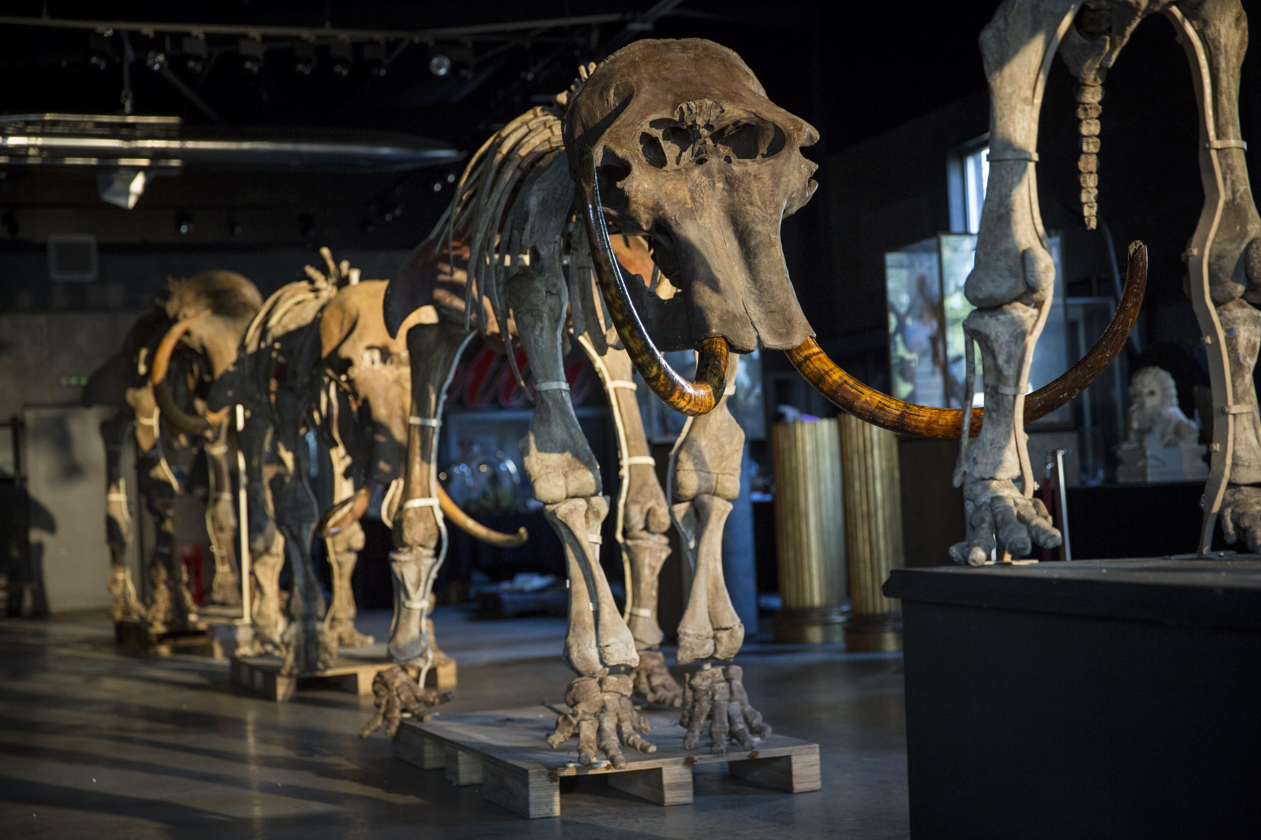 Restos de mamuts y otros hallazgos arqueológicos no detendrán obras en Santa Lucía