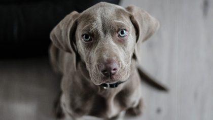Va Morena por mayores sanciones contra maltrato animal