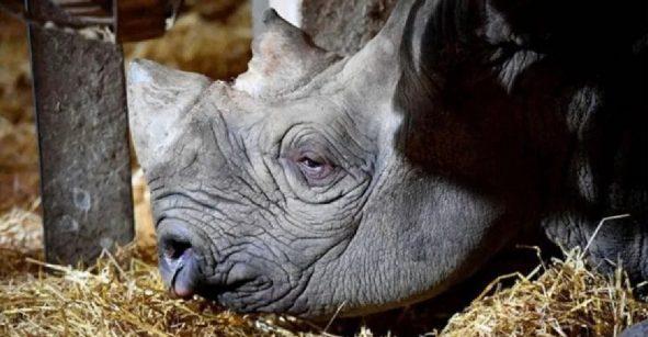 Ojalá fuera broma: Murió a los 57 años la rinoceronte más longeva del mundo
