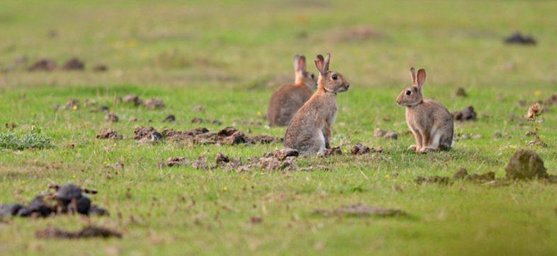 ¡Este es el fin! El conejo está oficialmente en peligro de extinción