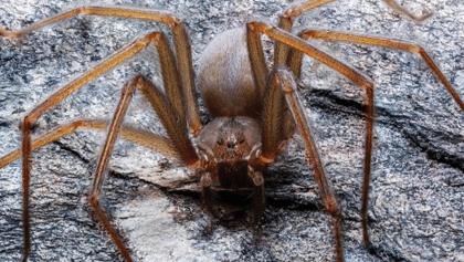 OLOV: Descubren nueva especie de araña violinista en el Valle de México