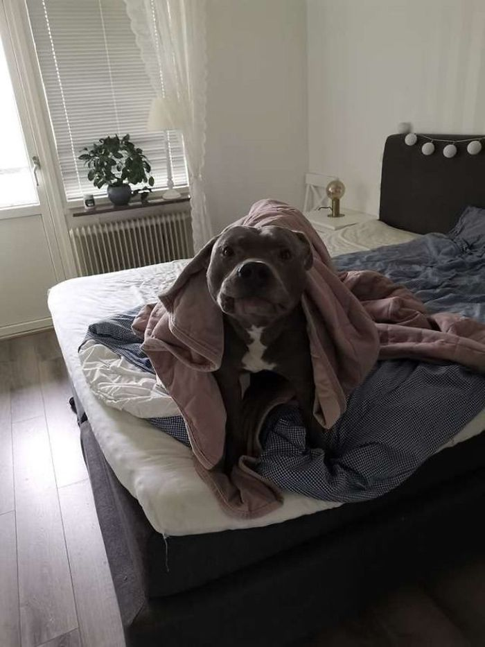 Le tenía miedo al pitbull de su vecino hasta que éste le salvó la vida