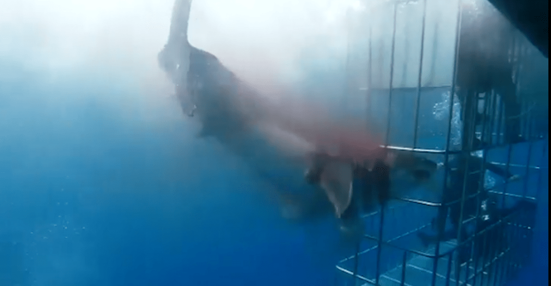 Profepa investigan muerte de Tiburón Blanco en Isla Guadalupe