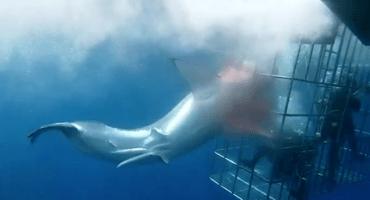 ¡Qué poca! Un tiburón blanco murió atorado en una jaula de turistas en México