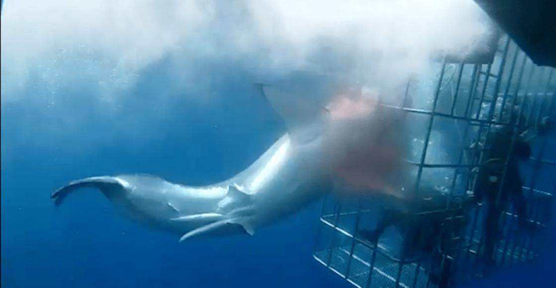 tiburon-blanco-muere-atorado-jaula-turistas-mexico-video-activistas