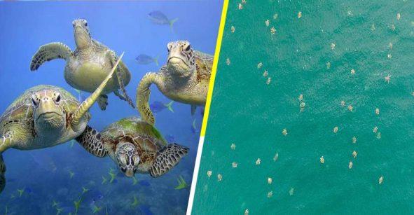 Dron capta al mayor grupo de tortugas marinas jamás antes visto