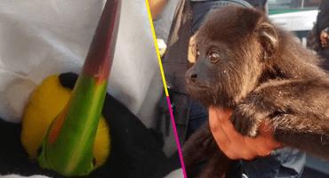 Policías rescatan a dos tucanes y un mono capuchino en la alcaldía Venustiano Carranza