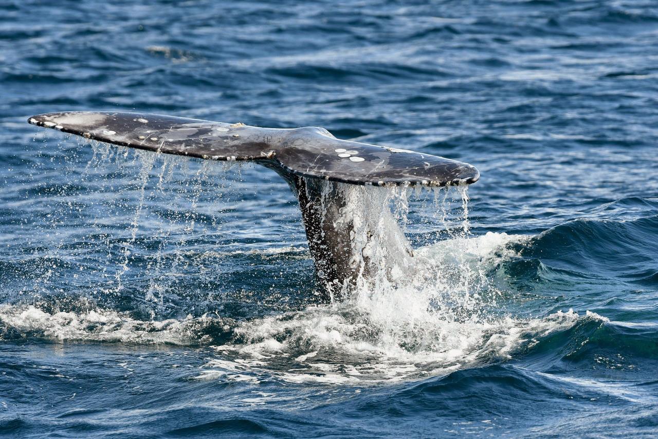 Primer censo en Baja California registra el nacimiento de 14 crías de ballena gris