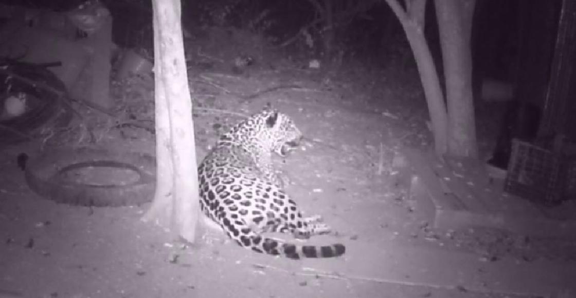 Capturan al jaguar que se comía a sus gallos y lo liberan ileso
