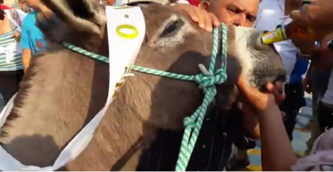 Un burro fue obligado a beber cerveza por la nariz tras ganar una carrera en Colombia