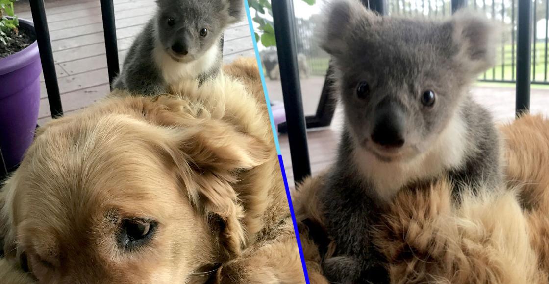 Perrita salva del frío a un koala bebé con el calor de su lomito