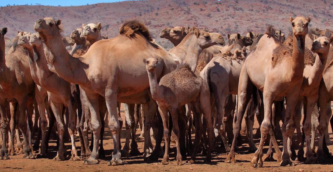australia-incendio-camellos-sacrificar-agua-muertos-miles-01