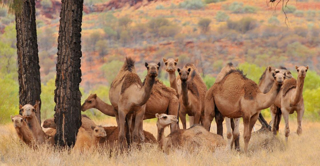Sacrificarán a miles de camellos en Australia por la escasez de agua