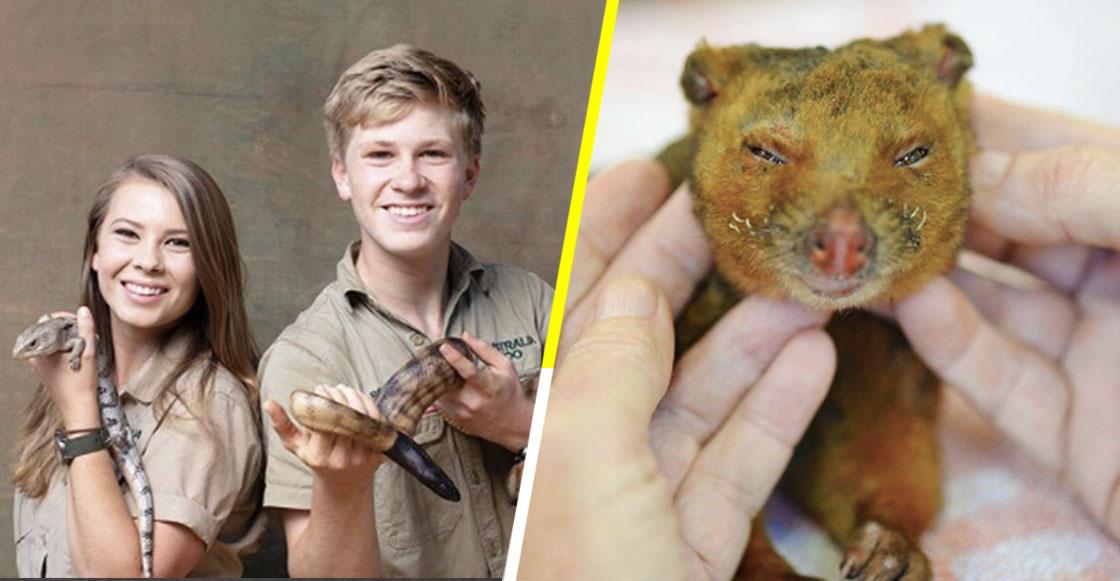 Se hace viral cazador que rescata a koalas en incendios de Australia