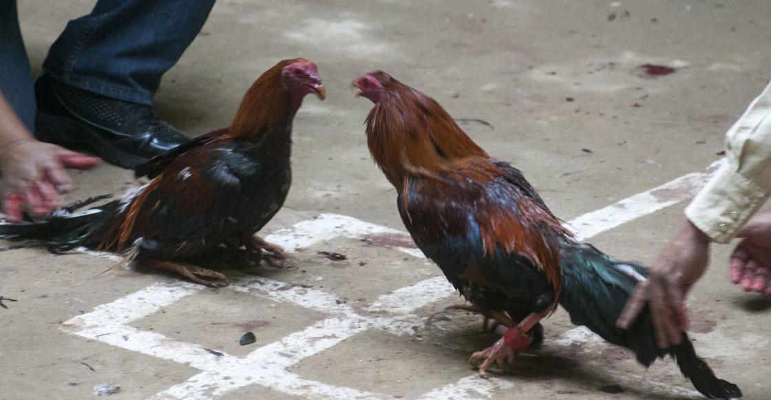 El que a hierro mata...Hombre es asesinado por un gallo de pelea durante un evento clandestino