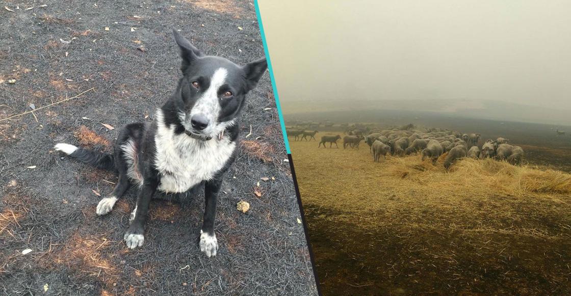 Héroes peludos: Perrita pastor salva a rebaño completo de los incendios de Australia