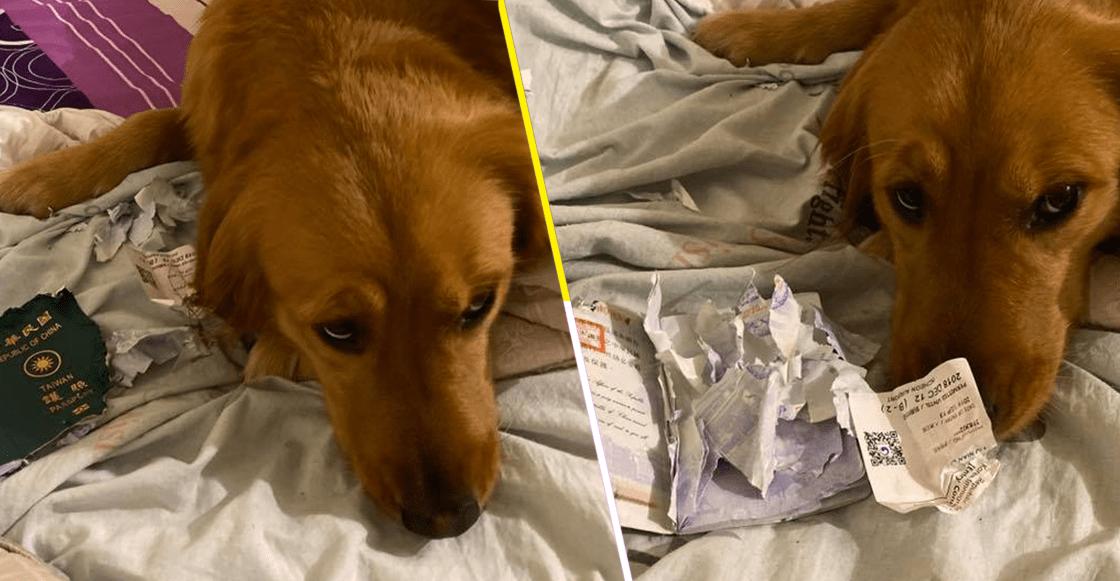 Suave héroe: Perrito salva a su dueña del coronavirus al comerse su pasaporte