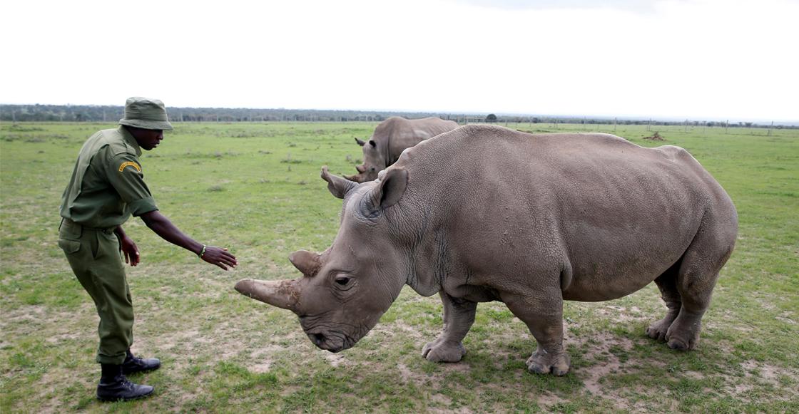 Científicos logran tres embriones viables del casi extinto rinoceronte blanco del norte