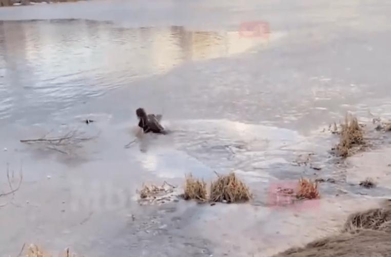 Amor sin límites: Mujer salta a un lago congelado para rescatar a su perro