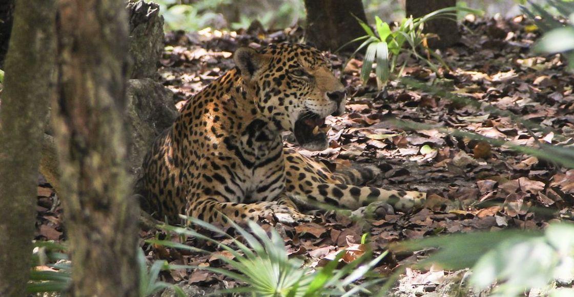 jaguar-denuncia-cientificos-denuncias