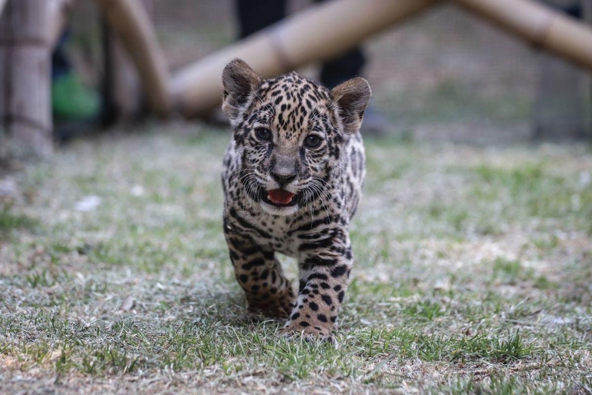 jaguar-caza-peligro-extinción