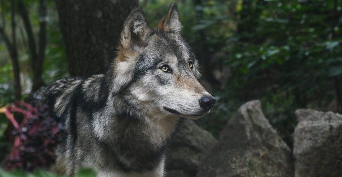 Una loba caminó durante dos años buscando pareja... y murió sin lograrlo