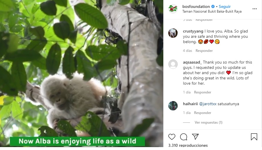 ¡Ternuringa! Así vive 'Alba', la única orangutana albina en el mundo
