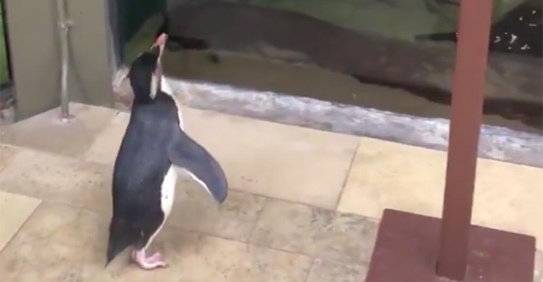 El coronavirus permite a los pingüinos