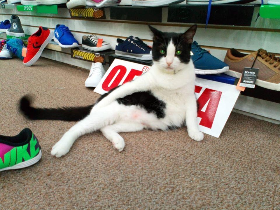'Silvestre': El gato que trabaja de gerente en una zapatería de Monterrey