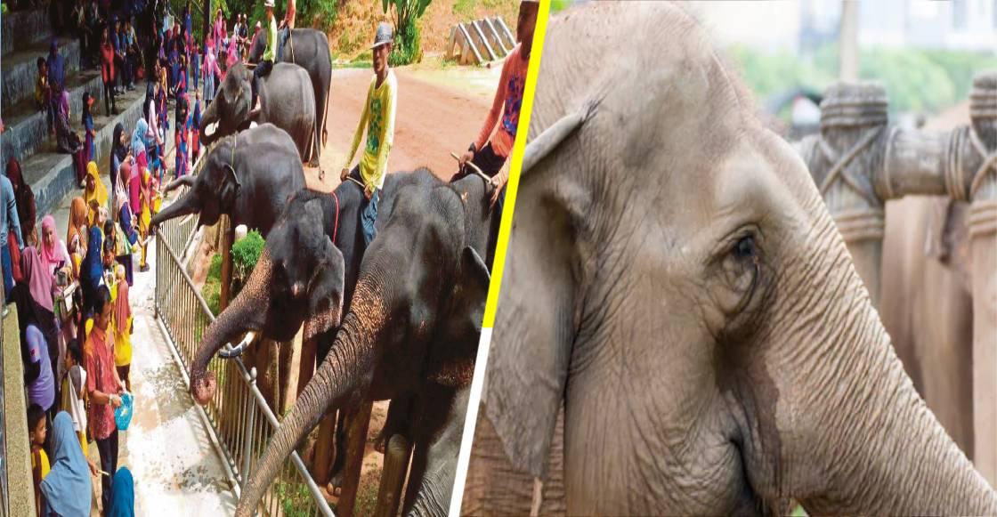 Más triste que Dumbo: Los elefantes de Tailandia están muriendo de hambre por COVID-19