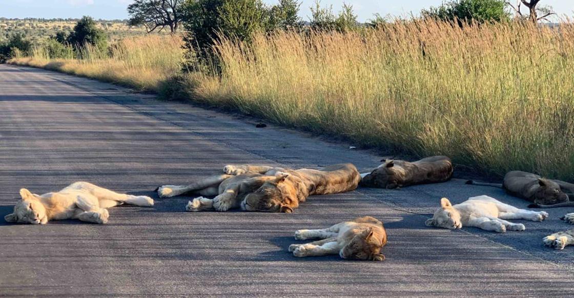 Leones duermen tranquilos en una carretera por falta de turistas (y porque coronavirus)