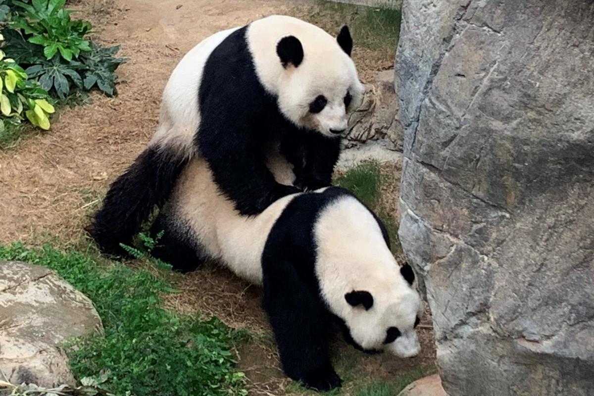Los pandas de un zoológico se aparearon luego de diez años juntos