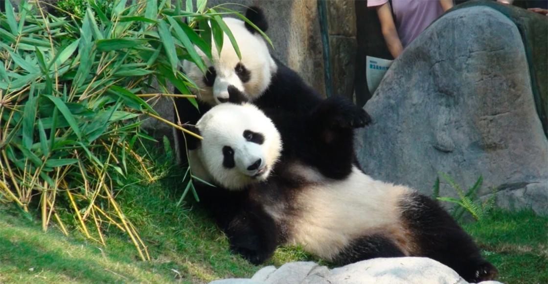 Pandas logran hacer 'el delicioso' sólo cuando cerraron el zoológico por coronavirus