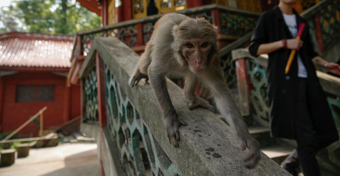 macacos-estudios-covid19