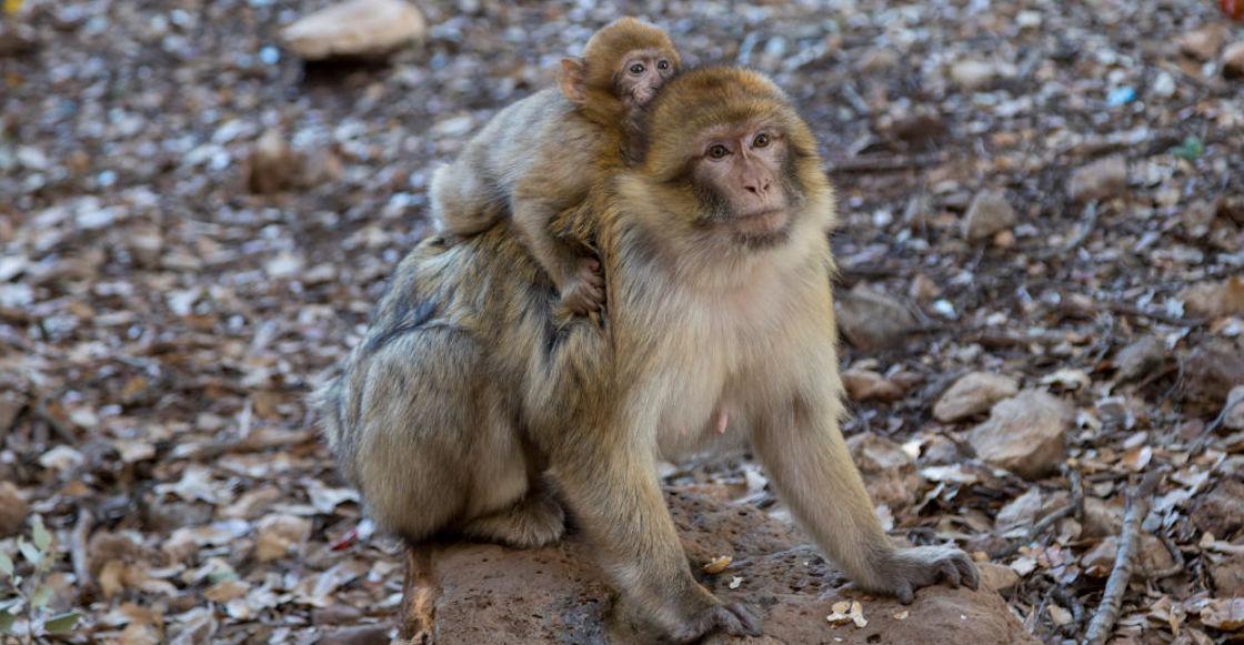 macacos-coronavirus