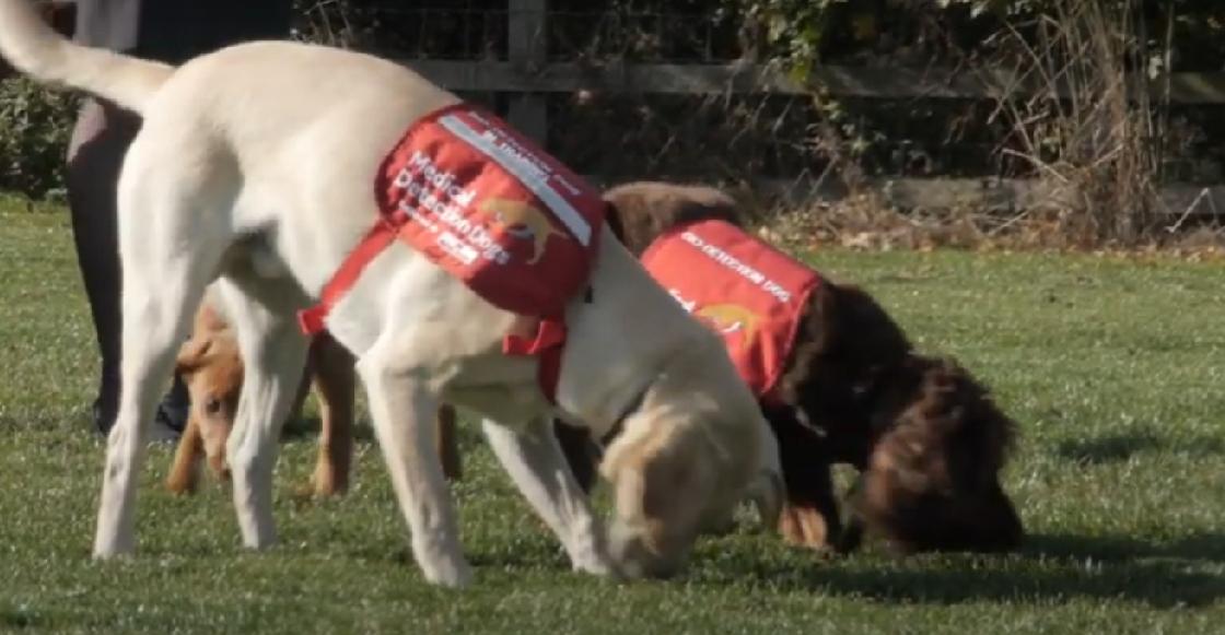 Inician pruebas para saber si los perros pueden detectar el coronavirus con su olfato
