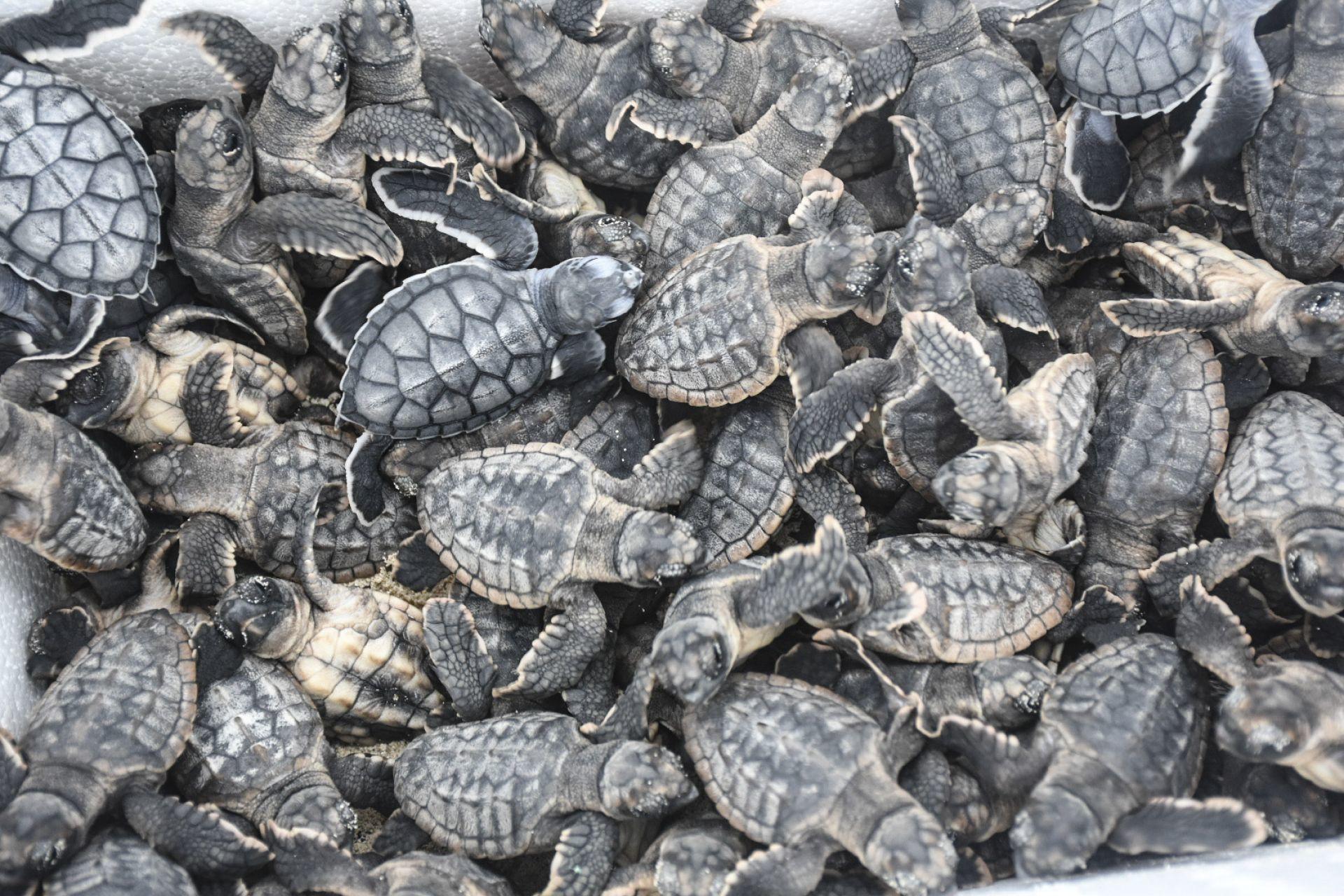 Murieron más de 5 mil tortugas rescatadas en el AICM; pretendían traficarlas a China