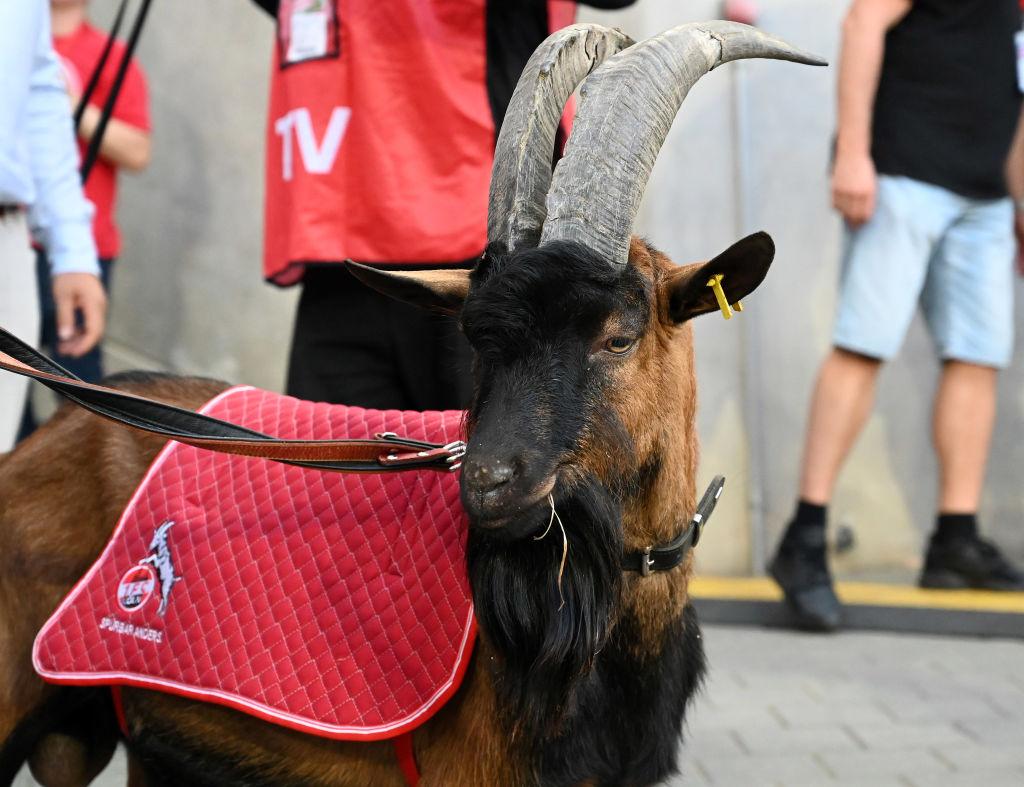 Día triste: La cabra del Colonia 'abandonó' al equipo por primera vez en 12 años