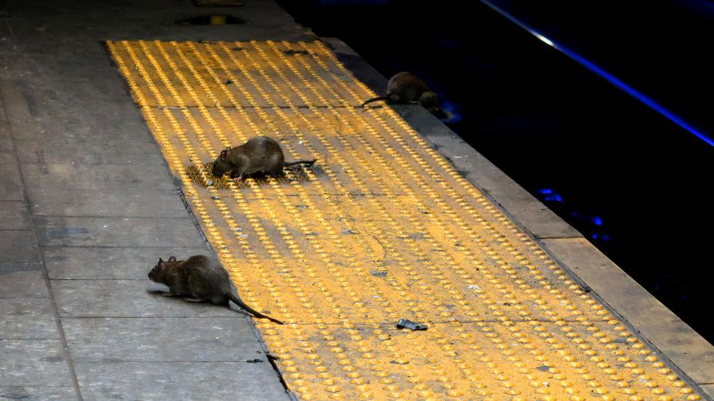 No ahora por favor: Alertan que ratas se han vuelto agresivas ante la pandemia de coronavirus