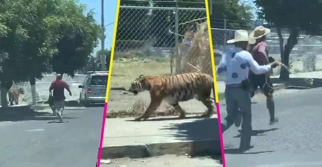 tigre-tlajomulco-jalisco