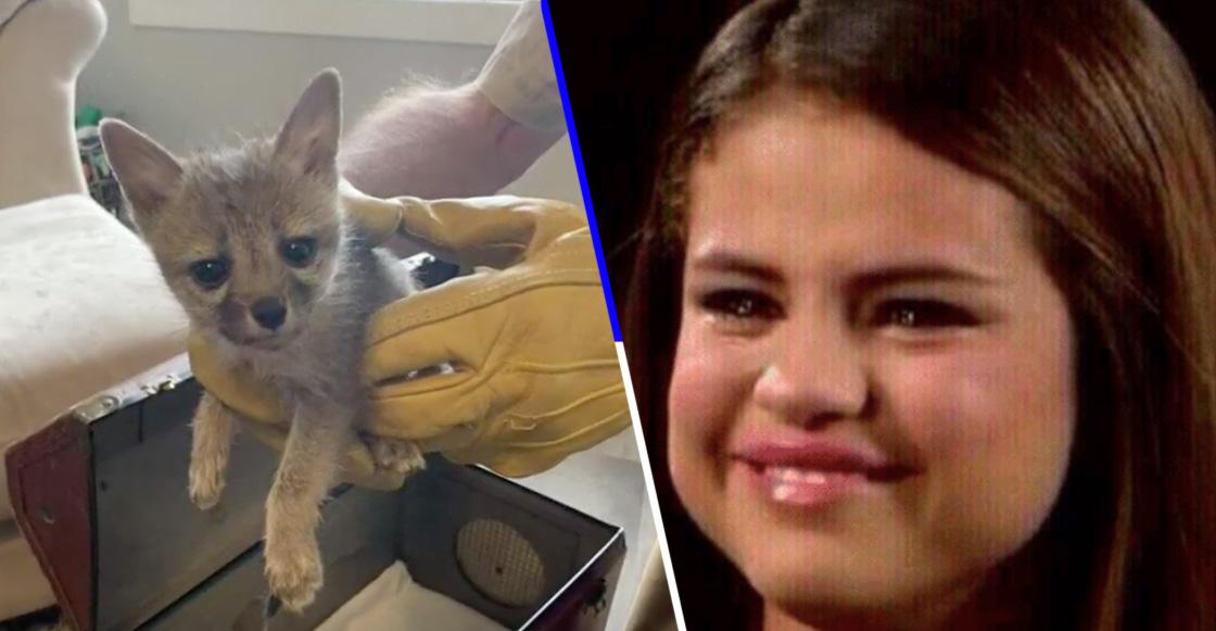 Lagrimita mil: Zorrito huérfano siguió a un perro pensando que era su mamá