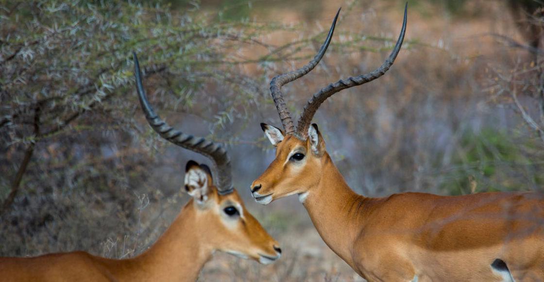gacelas-africa